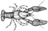 Astacus astacus 02.png