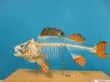 Perca_fluviatilis-Skelett.JPG